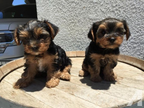 Purebred tiny teacup Yorkie puppies.