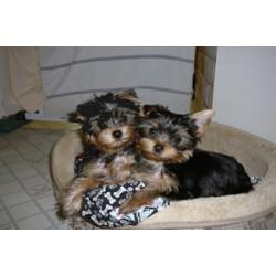 Outstanding Cute Teacup Yorkies Puppies For FREE Adoption