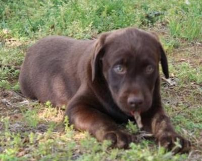 Cute and heealthy Labrador retriever puppies for sale
