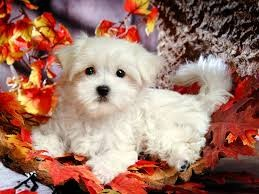 Two cute Maltese Puppies For New Homes..