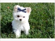 Beautiful A.K.C. Purebred Teacup Maltese Puppies