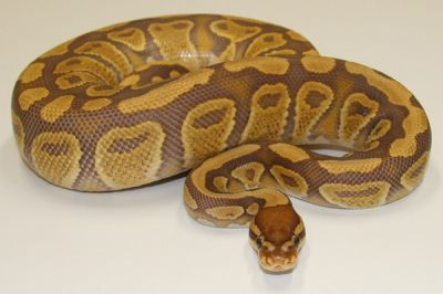 Outstanding Ball Pythons For Sale