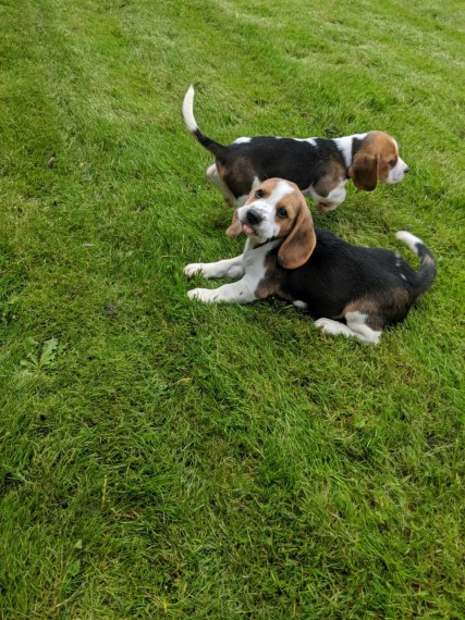 Beagle puppies looking for a new home