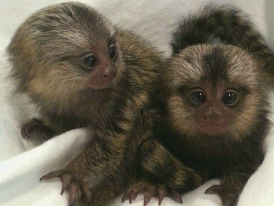 Cute male and female Monkey
