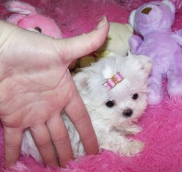 Maltese Puppies Very Tiny!!!