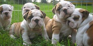 Charming English Bulldog Puppies For Rehoming