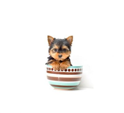 LOVING MALE AND FEMALE TEACUP YORKIES
