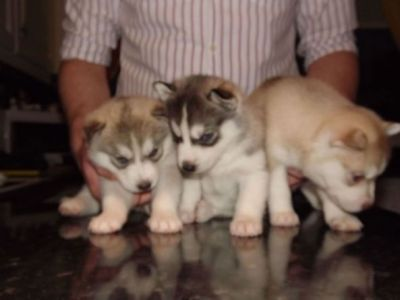Adorable Blue eyes Siberian Husky Puppy for Adoption