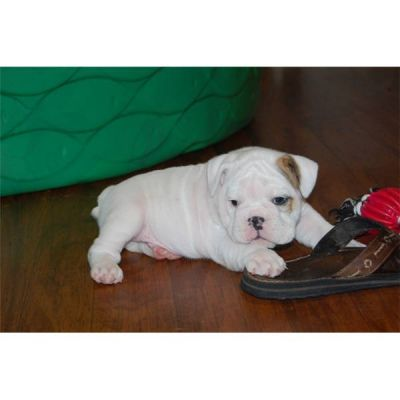 TWO MALE AND FEMALE WHITE ENGLISH BULLDOG PUPPIES FOR ADOPTION