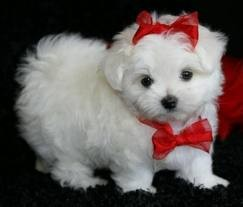 Cutest maltese puppies for free adoption.text (801) 845-7633