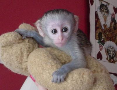 Adorable and Healthy Capuchin Monkeys For Adoption