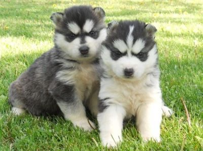 HEALTHY SIBERIAN HUSKY PUPPIES FOR ADOPTION.