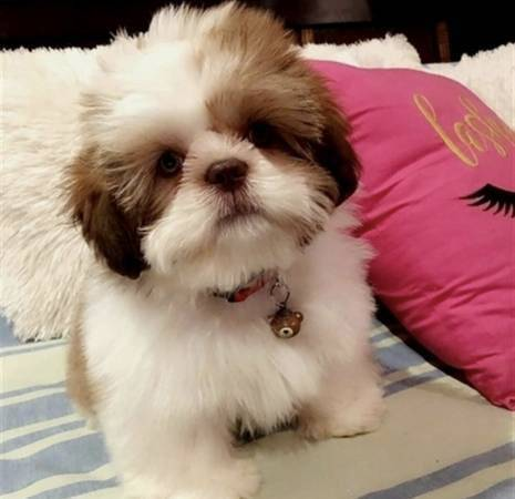 Shih Tzu puppies for Re-homing! Incredibly Sweet