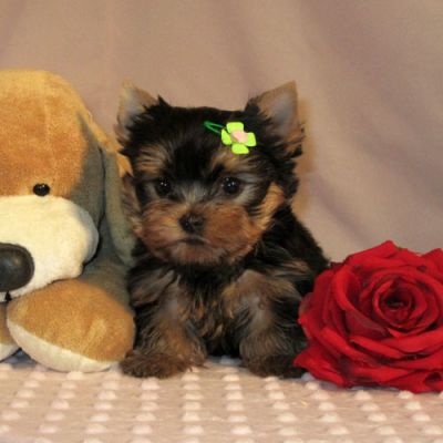 Lovely  Yorkie Puppies For Free Adoption