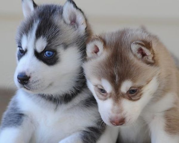 AKC Registered Siberian Husky Puppies- (801) 876-9561