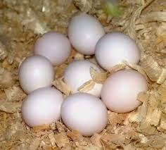 Parrot and fertile eggs for sales