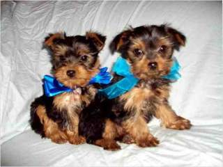 Tea cup Yorkie Puppies For Free Adoption....