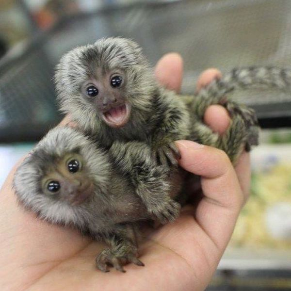 Marmoset Monkeys for sale (805) 931-6056