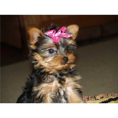 YORKIE PUPPIES FOR FREE ADOPTION