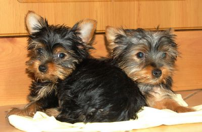 Two Yorkie puppies For Adoption (218-585-7700)
