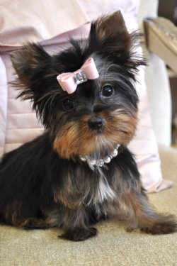 adorable  yorkie puppies of diferent colors for adoption