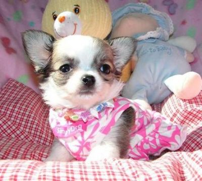 adorable Chihuahua for you all