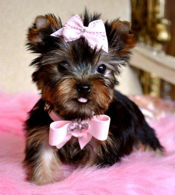 Male and Female Yorkie For Adoption