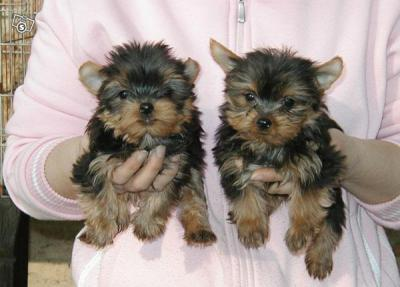 Healthy, yorkie Puppies for free adoption