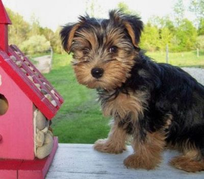 Two Beautiful Yorkshire Terrier Puppies for adoption