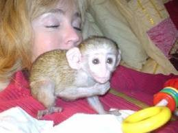 charming baby capuchin monkeys for adoption
