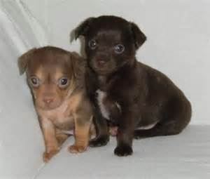 kitchens by design vt chihuahua puppies for free adoption 6592