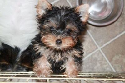 Male And Female Yorkie Terrier Puppies For Adoption