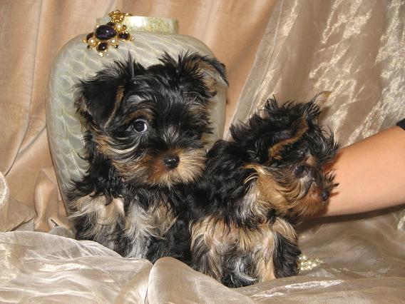 Two gorgeous Yorkie puppies for adoption Text Me on 862-414-3395