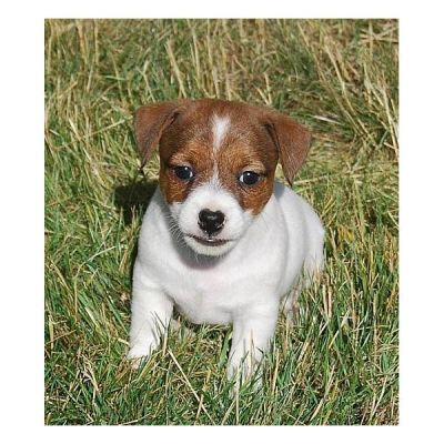 Jack Russell Puppies for a good home.