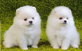 Teacups pomeranian puppies
