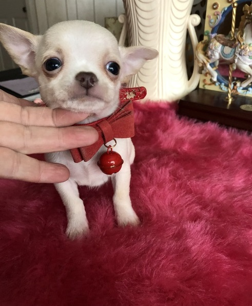 Gorgeous applehead Chihuahua male