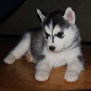 AKC Siberian Husky Puppies - Champion Bloodlines