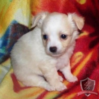 cute and lovely  chihahua puppies available