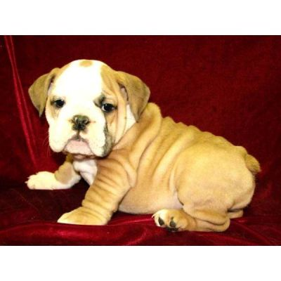 BEAUTIFUL AKC REG. ENGLISH BULLDOG PUPPIES