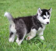 Outstanding Siberian husky puppies- (801) 876-9561