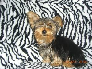 adorable yorkie ready to go