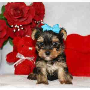 Charming Teacup Yorkie puppies Available