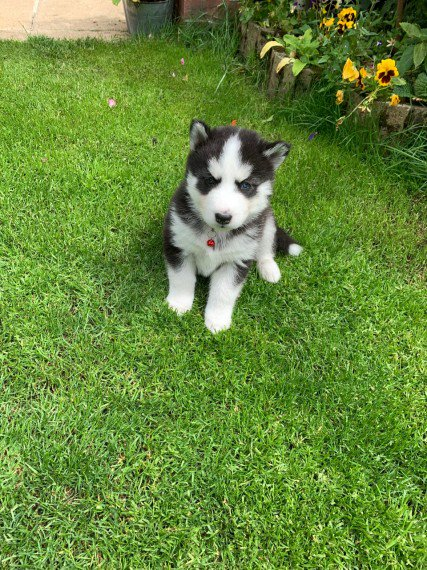 Adorable Siberian Husky Pups for Adoption