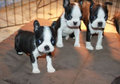 Boston Terrier Puppies for Sale Male and Female