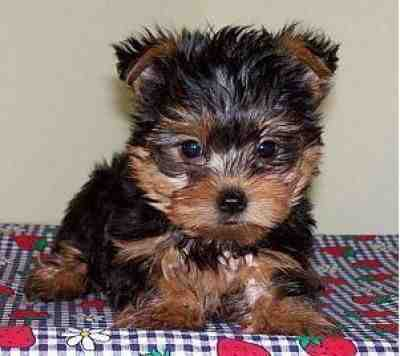 Healthy Well Trained Teacup Yorkie Puppies Available!!!