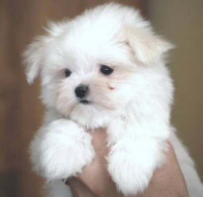 Two Teacup Maltese Puppies For Re-Homing