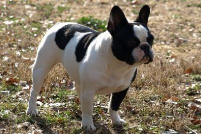 Poetic French Bulldog's Kasey Cream Female Puppy