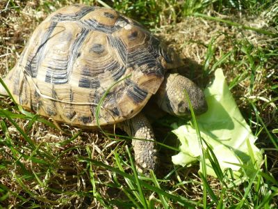 Greek,elegans,leopard,sulcata and other land tortoises for sale.