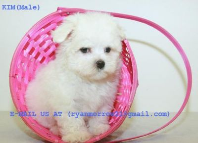 OUTSTANDING  MALTESE PUPPIES LOOKING FOR A NEW CARING HOME