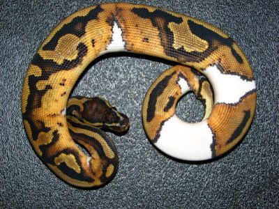 Albino and Piebald Ball Pythons sale